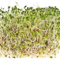 How to Sprout Alfalfa recipe
