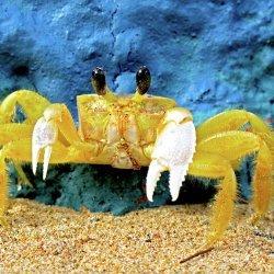 Puerto Rican Crab recipe