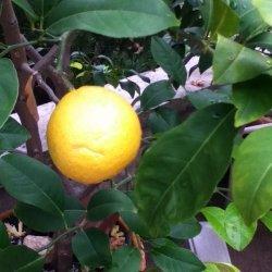 Lemon Sauce -  Salsa Di Limone