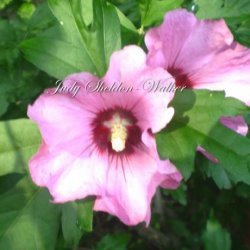 Stuffed Rose of Sharon