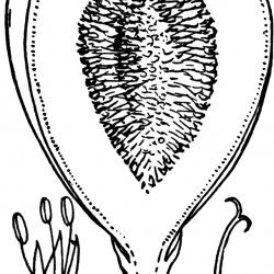 Fig Flowers
