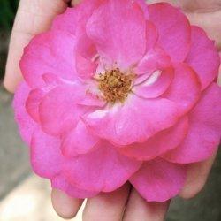 Rose Petal Cream
