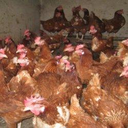 Chicken Kuku