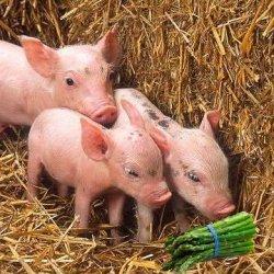 Drei Kleinen Schweinchen I – Spargel Westfaelisc... recipe
